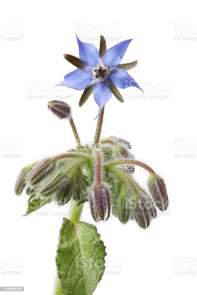 Fiore Borragine e germogli - foto stock