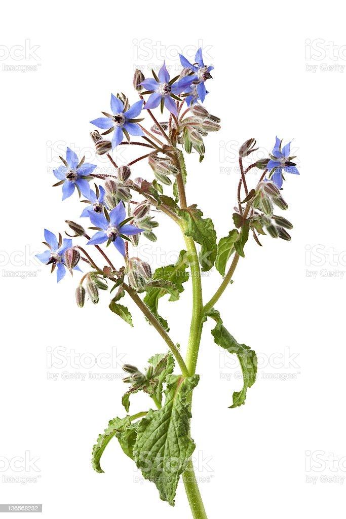 Flowering Borage stock photo