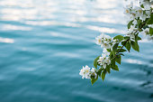 flowering branch above the water