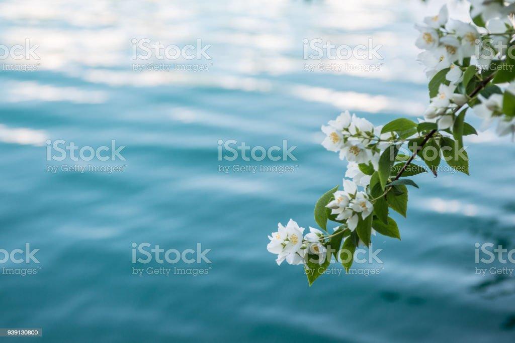 branche florifère au-dessus de l'eau - Photo