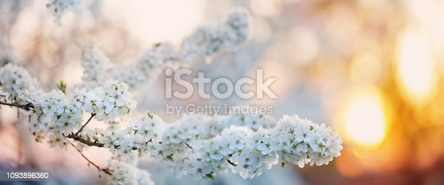 istock flowering branch in orchard 1093896360