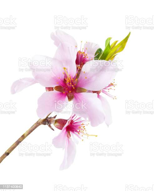 Flowering branch of almond isolated on white background picture id1137400840?b=1&k=6&m=1137400840&s=612x612&h=6rwyuwzplrl3lrk3ivyh4y6ujamc3izmuqs8ubizzmg=