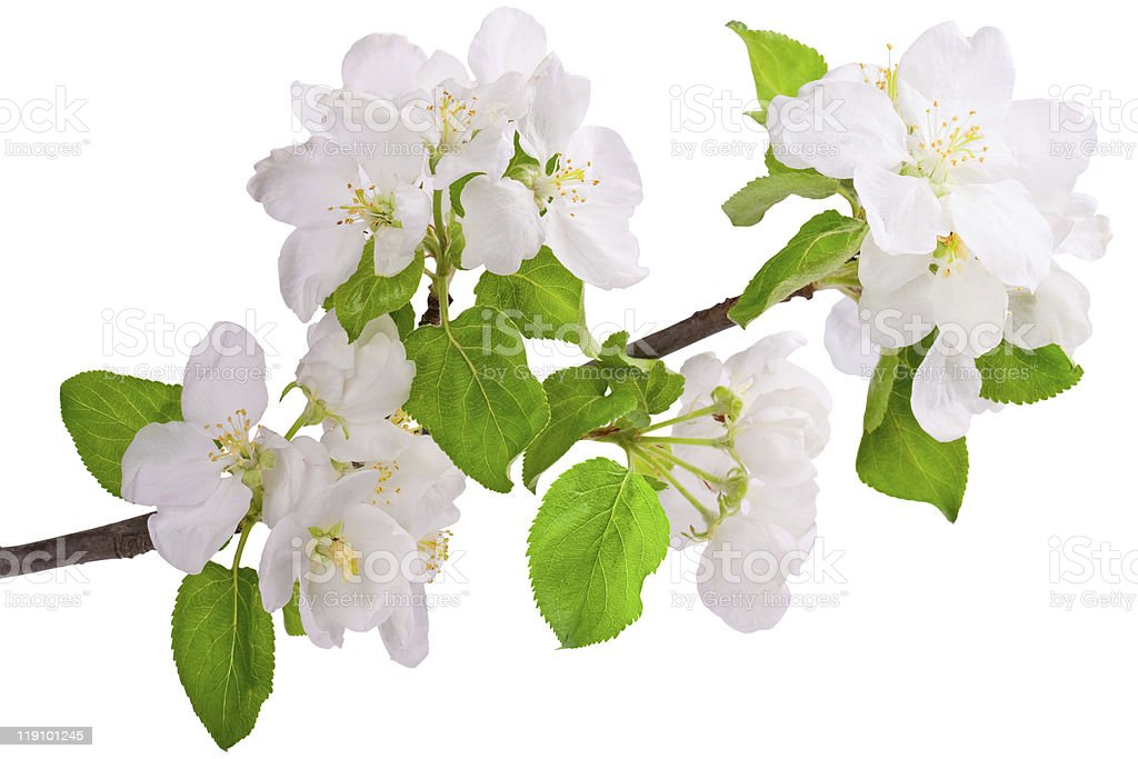 Flowering branch of apple-tree royalty-free stock photo