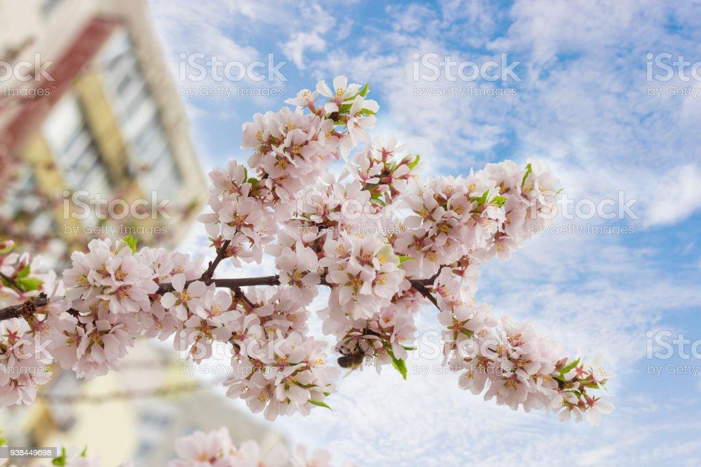 Direction générale de la floraison de l'abricotier sur un arrière-plan flou - Photo