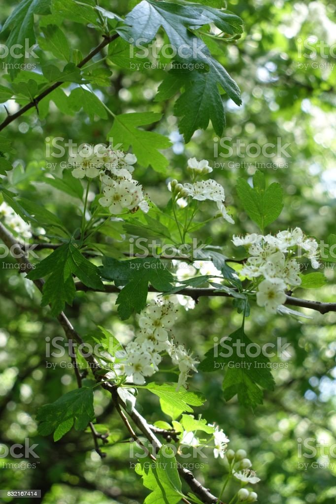 Flowering branch of hawthorn bush in may stock photo