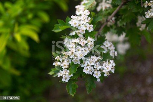 Flowering branch of hawthorn