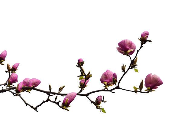 Filial de flor de magnólia corte - foto de acervo