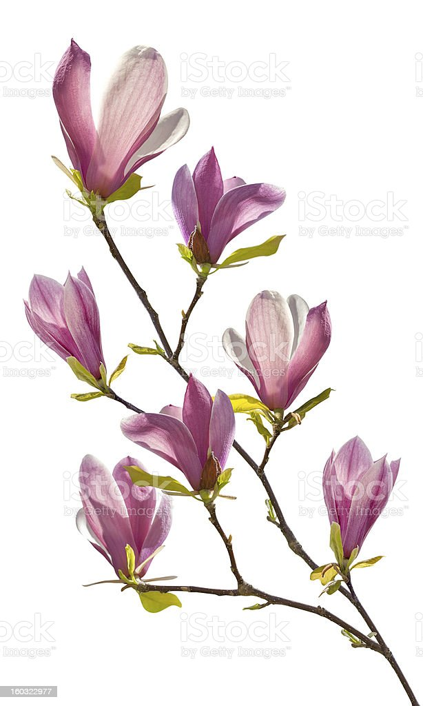 Flowering branch of magnolia stock photo