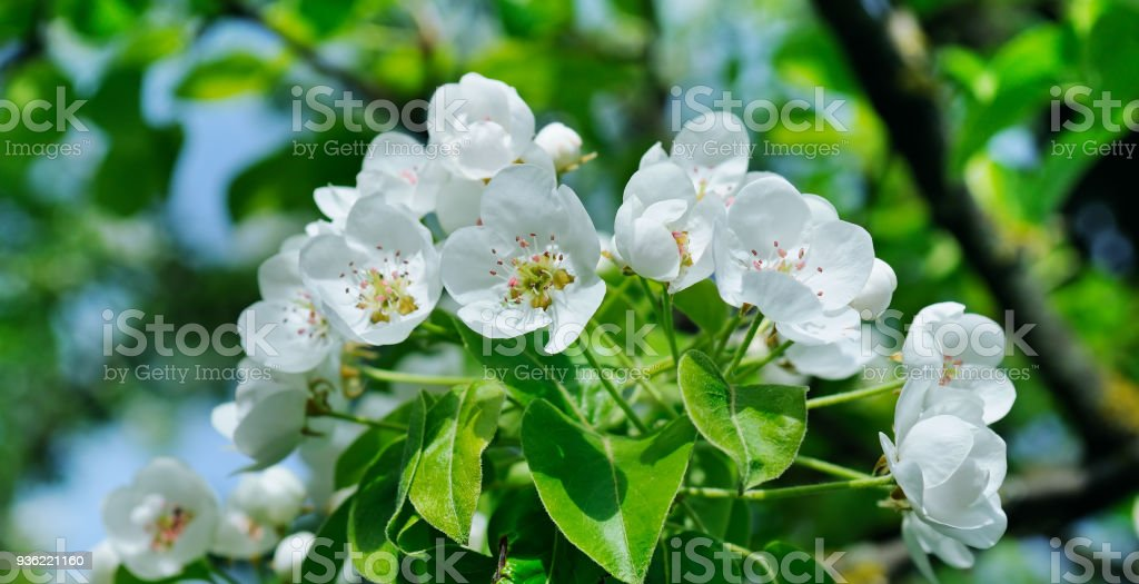 Flowering branch of pear blooming spring garden. stock photo