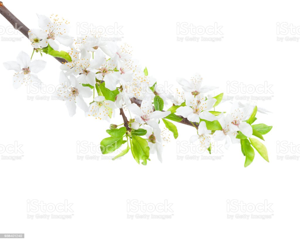 Flowering branch of the apple-tree isolated on white background stock photo