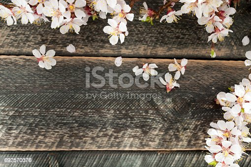 istock Flowering branch on the old wooden background with sun rays. Spring blossom. Top view 692570376