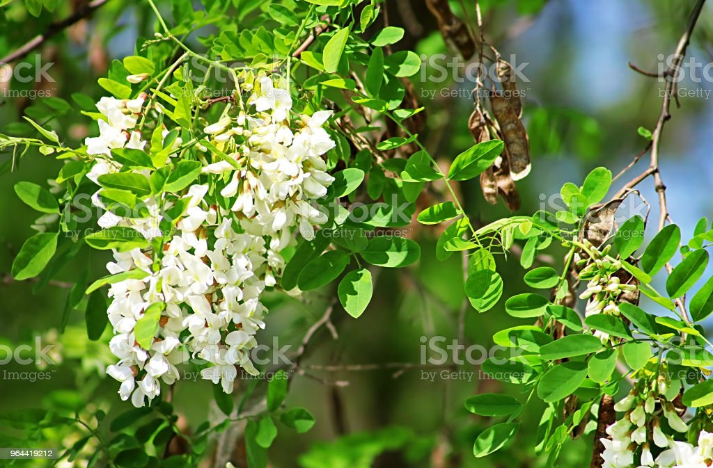 Bloeiende tak op witte acacia boom - Royalty-free Acacia Stockfoto