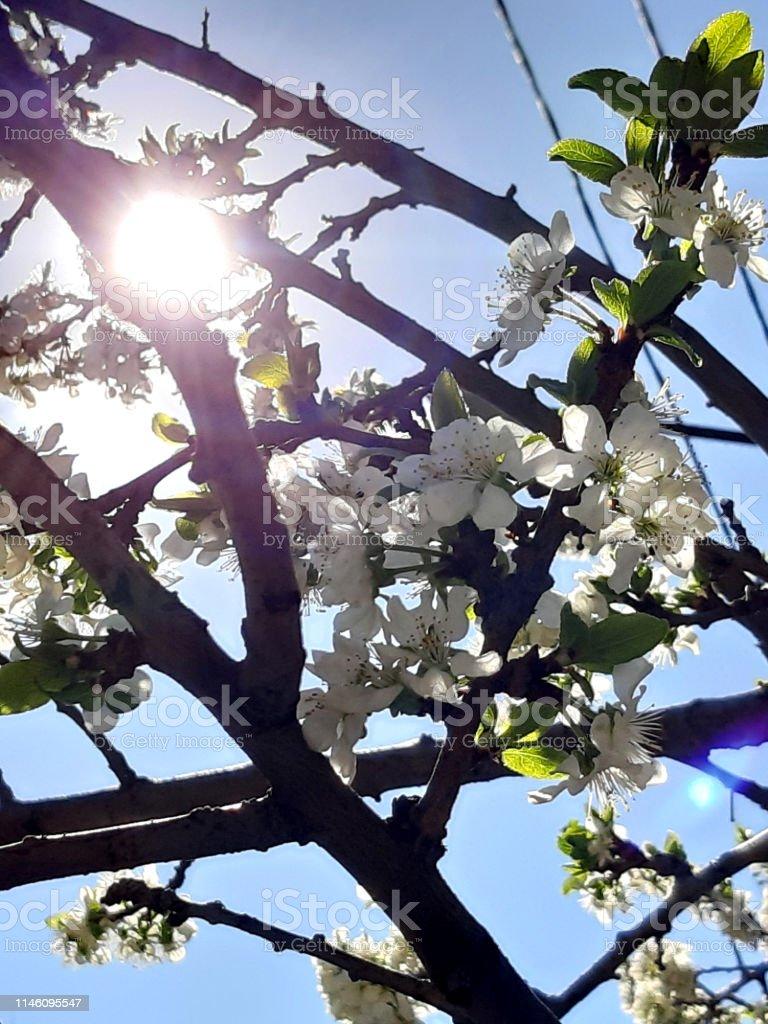 Photo White flowers. Spring tree. New life. Blue sky, sun. Wallpaper...