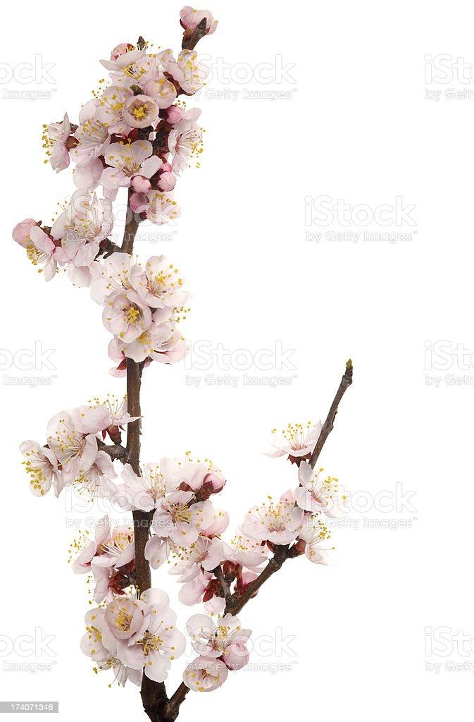 Flowering branch stock photo