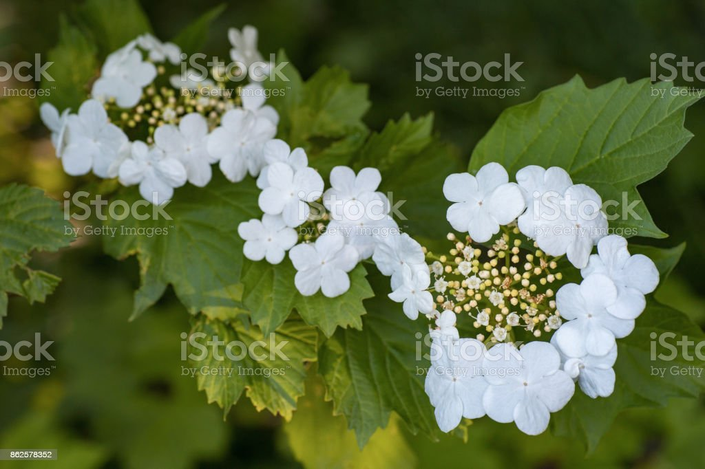 Flowering branches of a decorative shrub blooming beautiful white flowering branches of a decorative shrub blooming beautiful white flowers with five petals in the garden mightylinksfo