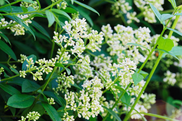 flowering branches of privet hedge stock photo