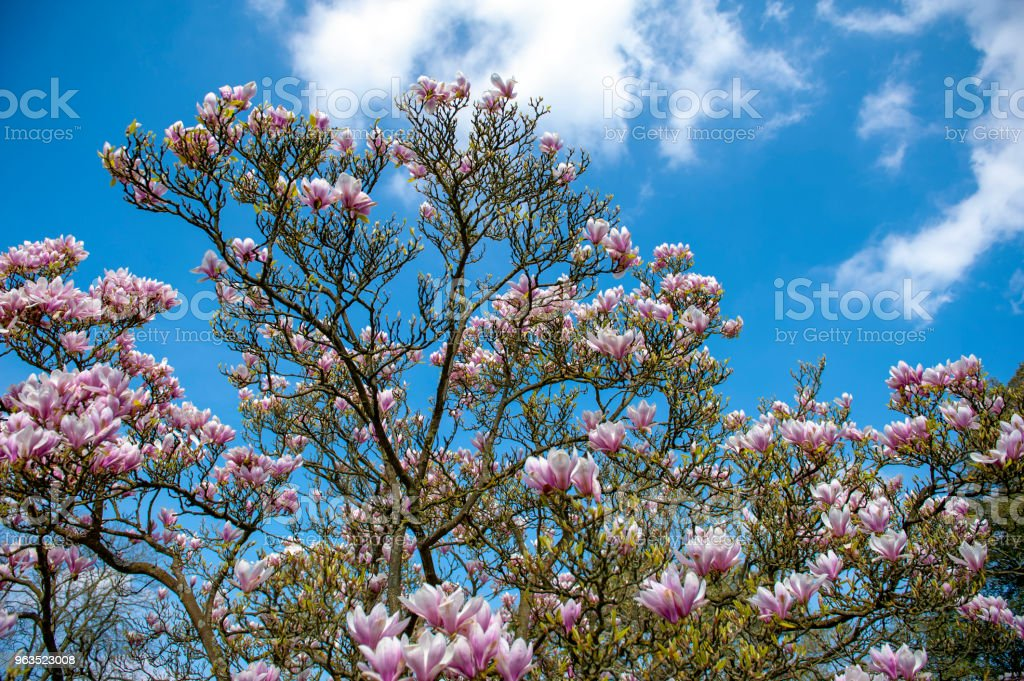 Flowering branches of Saucer magnolia (Magnolia x soulangeana), a hybrid plant in the genus Magnolia and family Magnoliaceae with large, early blooming flowers in various shades of white, pink, and purple stock photo