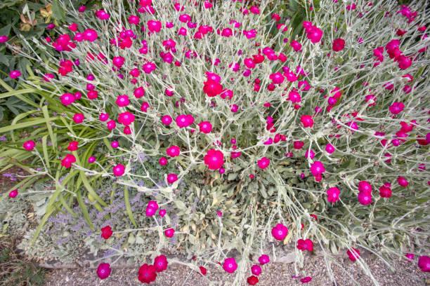 Blühender Haufen von leuchtend roten offenen kleinen Rosenlager – Foto