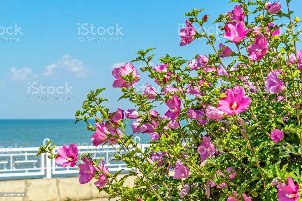 Flowering Bush Of Pink Hibiscus On The Sea Promenade Closeup Stock