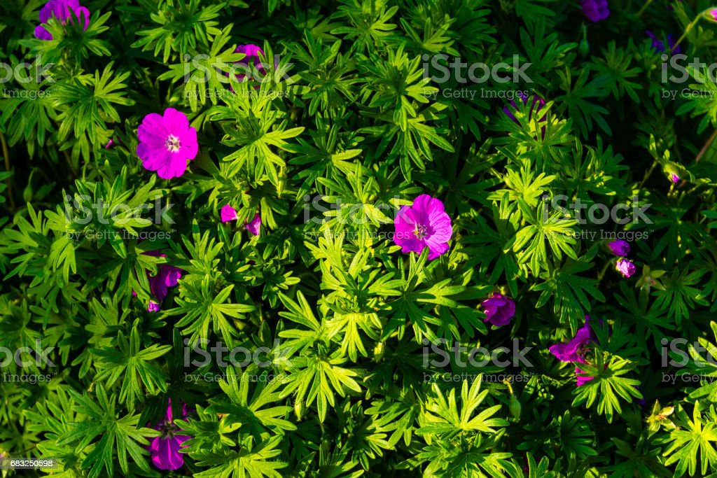 flowering bush with small pink or violet blooms foto de stock royalty-free