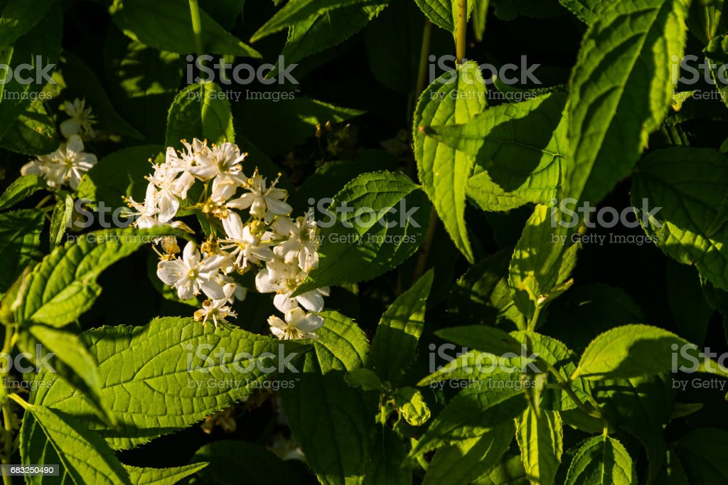 flowering bush with very small white blooms royalty-free stock photo