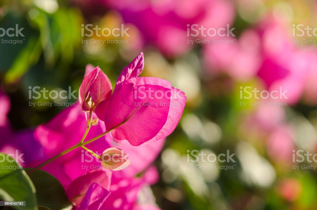 Flowering Bushes With Pink Flowers royalty-free stock photo