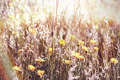 Flowering buttercup flower in meadow, beautiful nature in spring
