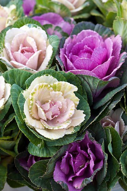Flowering Cabbage stock photo
