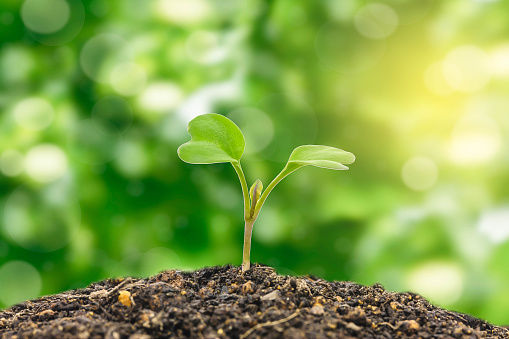 615599804 istock photo Flowering cabbage seedlings stay on green background 533041672