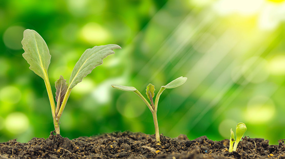 615599804 istock photo Flowering cabbage seedlings stay on green background 533042268