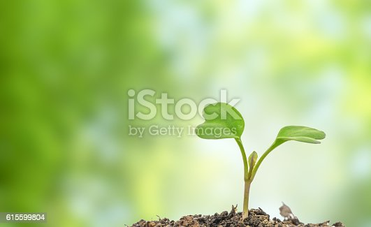 istock Flowering cabbage seedlings stay on green background 615599804
