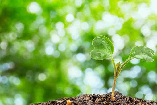615599804 istock photo Flowering cabbage seedlings stay on green background 615599812