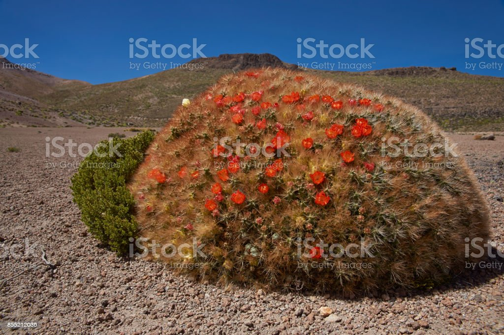Flowering cacti on the Altiplano stock photo