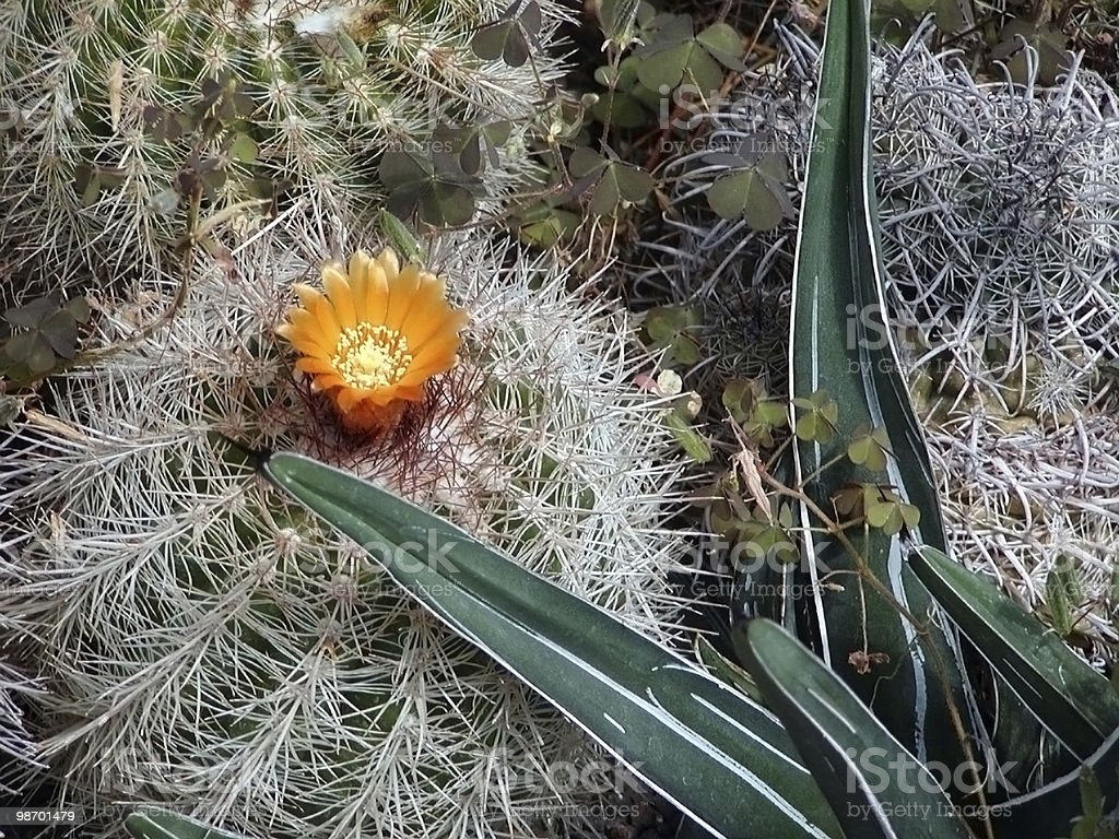 Flowering Cactus royalty-free stock photo