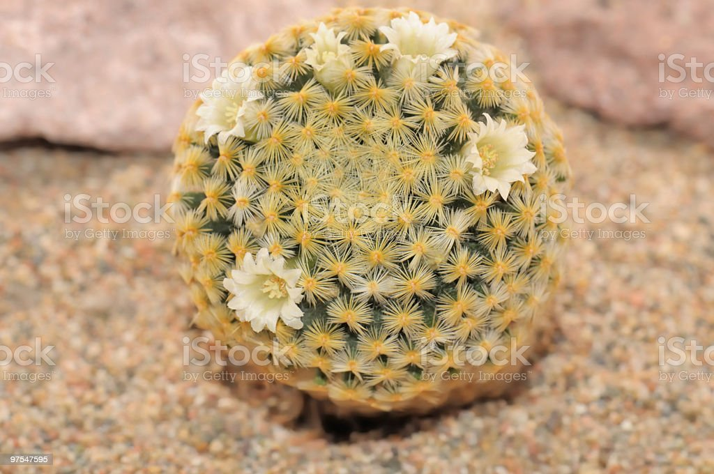 Flowering cactus with beautiful white flowers. royalty-free stock photo
