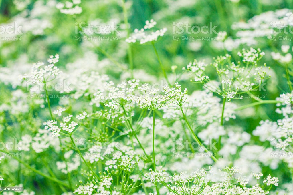flowering caraway stock photo