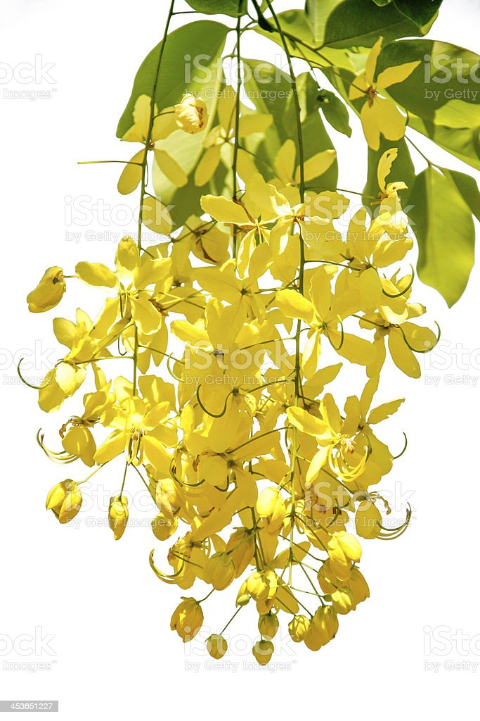 Flowering cassia stock photo