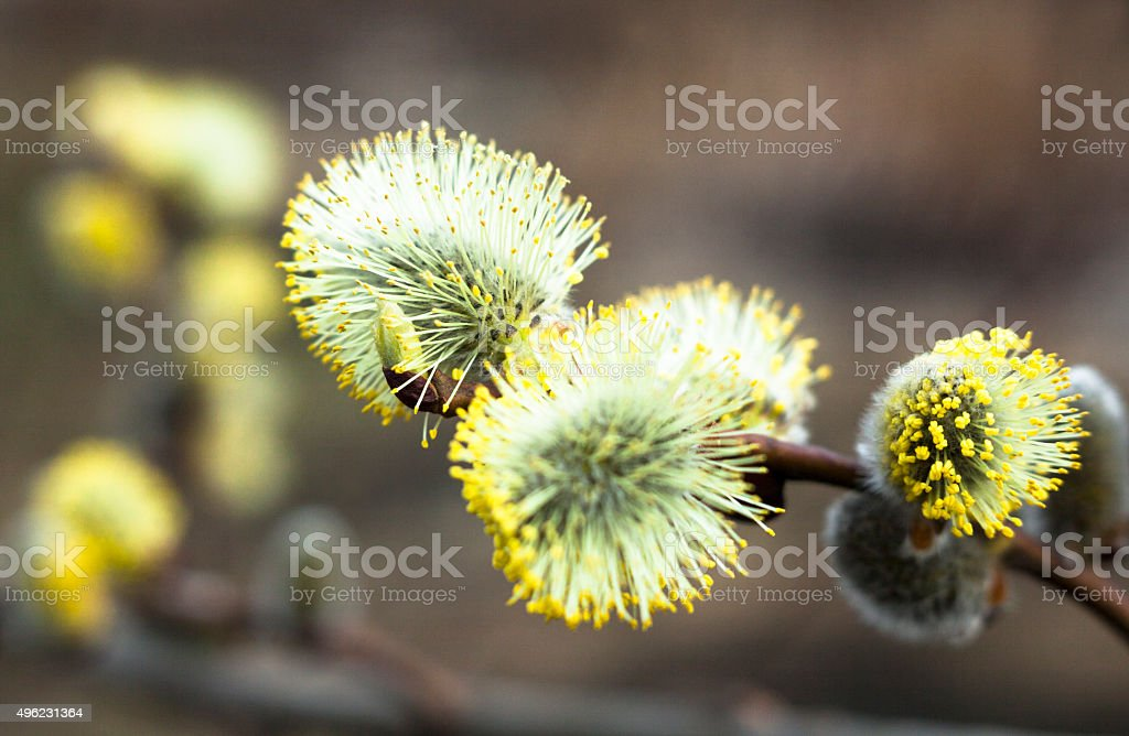 Flowering catkins of a willow stock photo