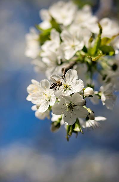 Flowering cherry branch stock photo