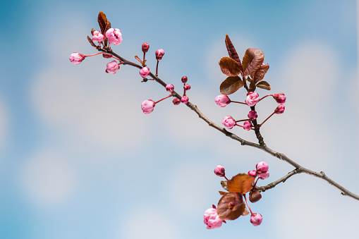 Flowering pink Cherry flowers on sblue ky background. Opening Sakura flowers on branches Cherry tree at spring.