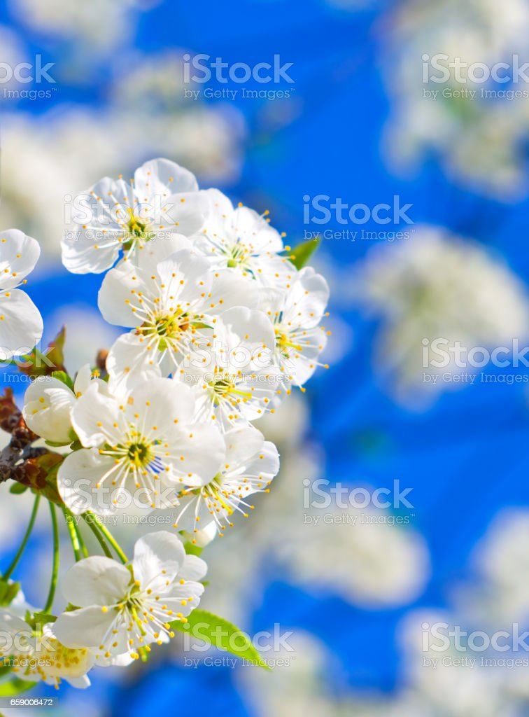 Flowering cherry in the garden royalty-free stock photo