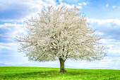 single cherry tree with flowers on green field in spring