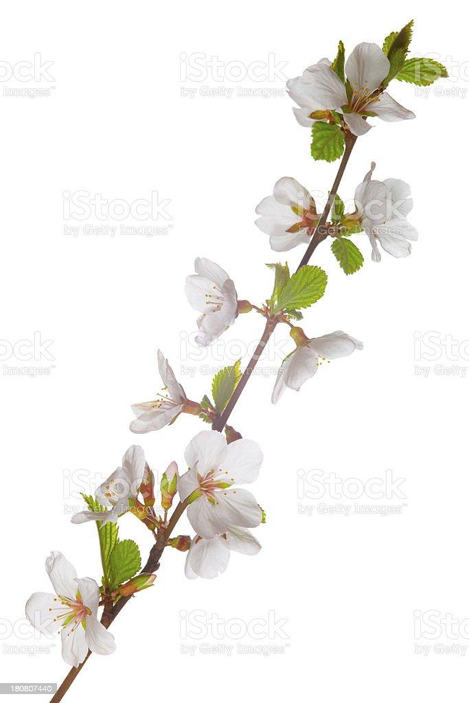 Flowering cherry stock photo