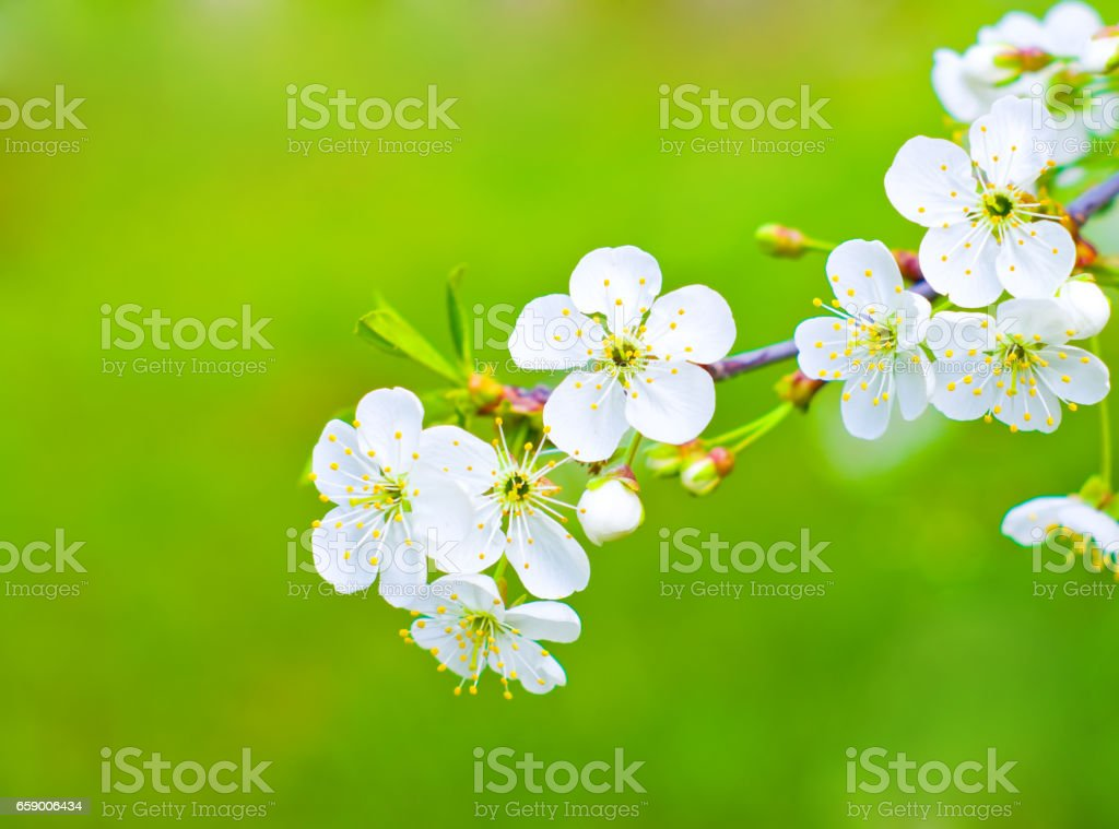Flowering cherry royalty-free stock photo