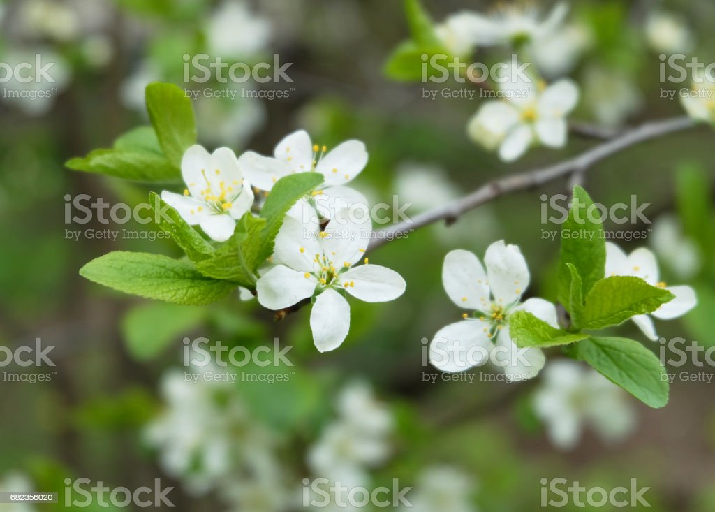 Flowering cherry foto stock royalty-free