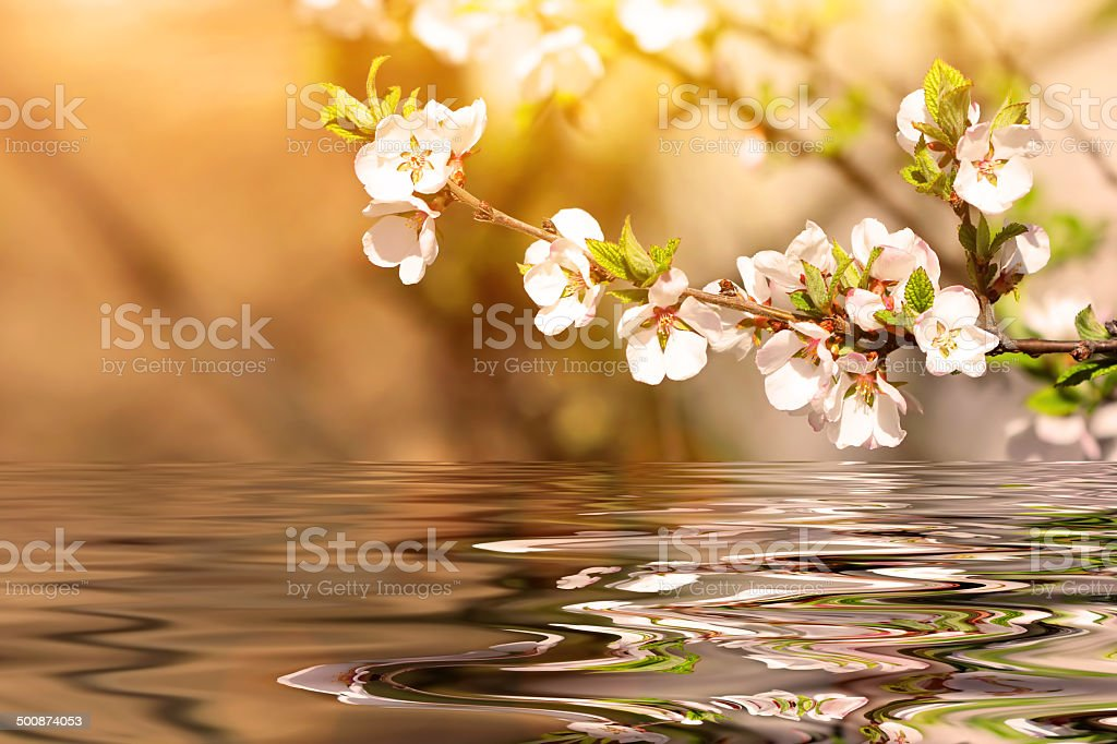 flowering cherry tree branch in spring stock photo