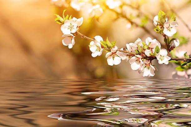 branche de cerisier en fleurs au printemps - paysage mois de mars photos et images de collection