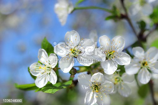 flowering cherry tree close up in spring sunny day and blue sky
