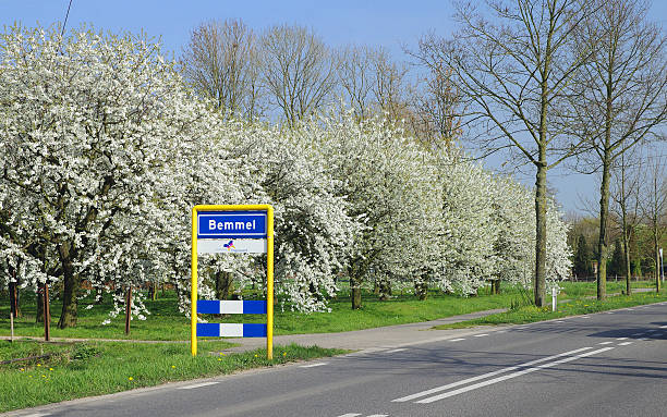 Flowering cherry trees in Bemmel.​​​ foto