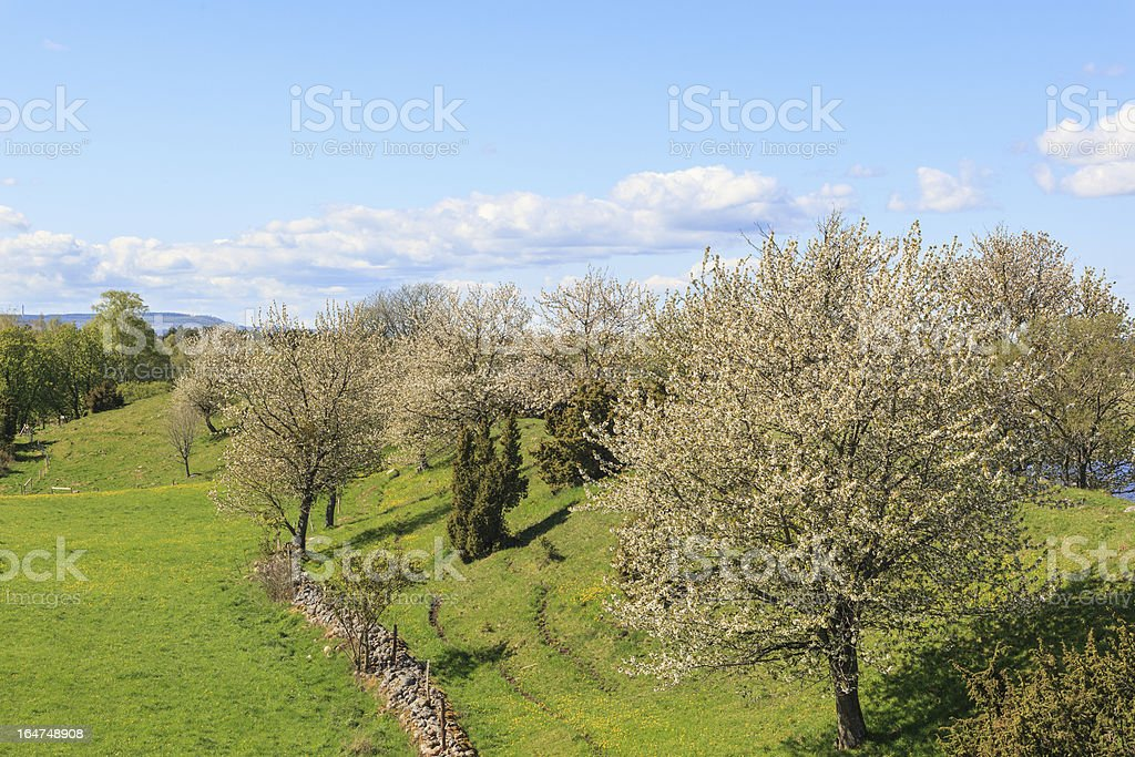Flowering cherry trees royalty-free stock photo